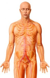 Photo: Nucleus Medical Art, Inc. How the body reacts to cold When we are naked, we are comfortable at a temperature range of 28 – 33o C, while the optimal operating temperature for our internal organs such as the heart, liver and lungs is 37 degrees. Muscles perform best at a slightly higher temperature. The body generates its own heat – enough to compensate for heat loss to the environment. But as soon as we lie down on the sofa we lower our rate of heat production, and we need extra insulation such as blankets. Fingers and toes are most vulnerable to heat loss. At eight degrees below zero, fingers become numb and clumsy. It becomes difficult to tie our shoelaces, to zip up or to handle instruments. Below -15 degrees, mobility and fine motor movement gradually disappear. At even lower temperatures, our cognitive ability is also affected. Heat is lost from the surface, so that the peripheral organs are the first part of the body to cool down. The body protects itself against heat loss by cutting the blood supply to the outermost skin layer and withdrawing blood back into the body, which slows down the rate of heat loss. The only way to warm up our hands and feet again is to get the body to send warm blood out to them. The best way of doing this is by exercise. Wearing clothes creates a microclimate close to the body that stays at 28 – 33 degrees. With good insulation, the outer surface of our clothes will be at virtually the same temperature as the ambient temperature, thus helping to delay heat loss from the body.