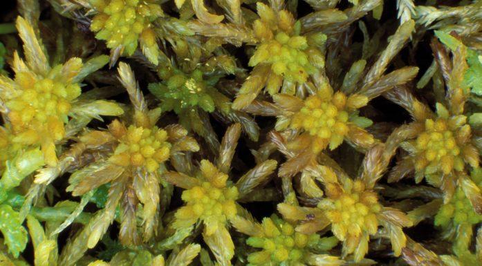 Trøndertorvmose finnes bare i Nord-Trøndelag. Sphagnum troendelagicum er det latinske navnet.