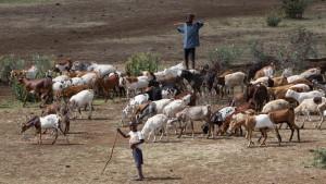 Husdyrbestanden og presset på beiteområdene øker stadig. Foto: Per Harald Olsen/NTNU