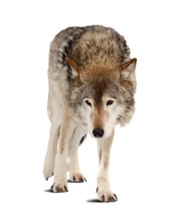 Etter intens ulvejakt i 100 år var ulven så godt som utryddet. Foto: Thinkstock
