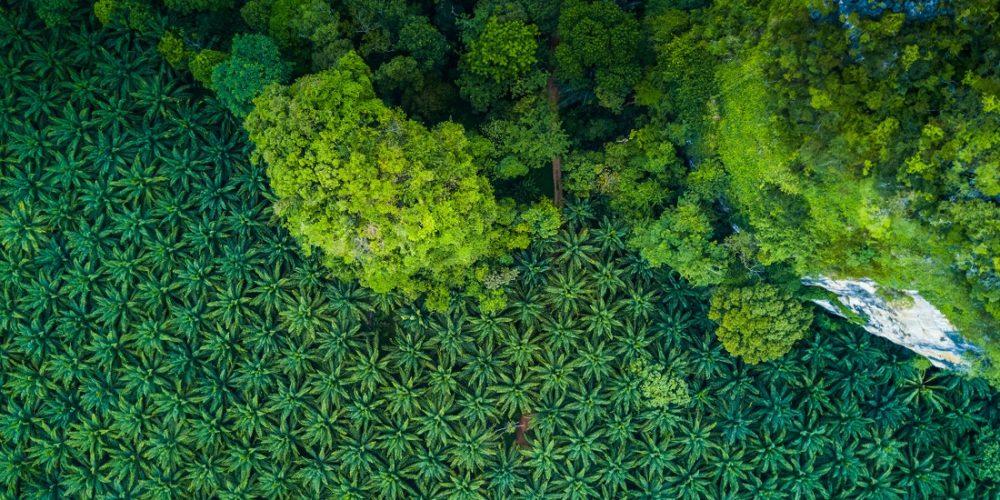 Palmeoljeplantasje og skog sett ovenfra.